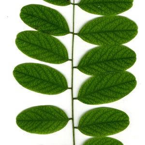 Photographie n°31393 du taxon Robinia pseudoacacia L.