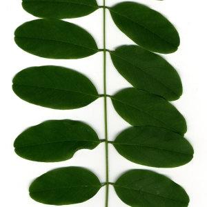 Photographie n°31395 du taxon Robinia pseudoacacia L.