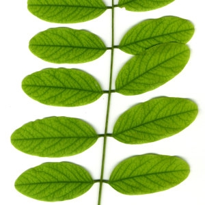 Photographie n°31396 du taxon Robinia pseudoacacia L.