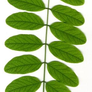 Photographie n°31400 du taxon Robinia pseudoacacia L.