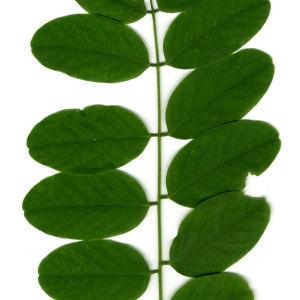 Photographie n°31402 du taxon Robinia pseudoacacia L.