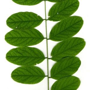Photographie n°31403 du taxon Robinia pseudoacacia L.