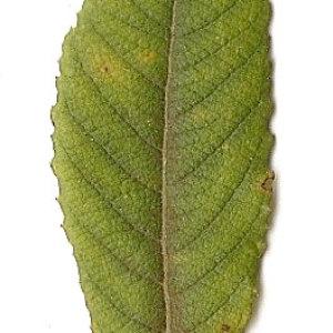 Photographie n°31406 du taxon Salix caprea L.