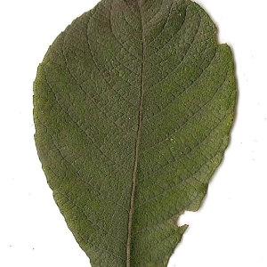 Photographie n°31407 du taxon Salix caprea L.