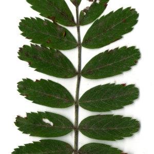 Photographie n°31432 du taxon Sorbus domestica L. [1753]