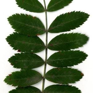 Photographie n°31433 du taxon Sorbus domestica L. [1753]