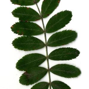 Photographie n°31434 du taxon Sorbus domestica L. [1753]