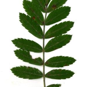 Photographie n°31435 du taxon Sorbus domestica L. [1753]