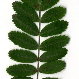 Photographie n°31436 du taxon Sorbus domestica L. [1753]