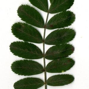 Photographie n°31437 du taxon Sorbus domestica L. [1753]