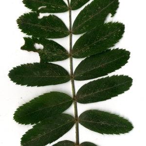 Photographie n°31438 du taxon Sorbus domestica L. [1753]