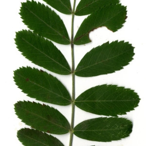 Photographie n°31439 du taxon Sorbus domestica L. [1753]