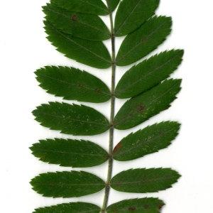 Photographie n°31440 du taxon Sorbus domestica L. [1753]