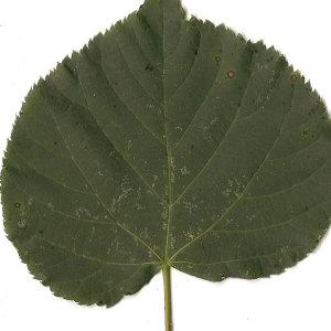 Photographie n°31452 du taxon Tilia cordata Mill. [1768]