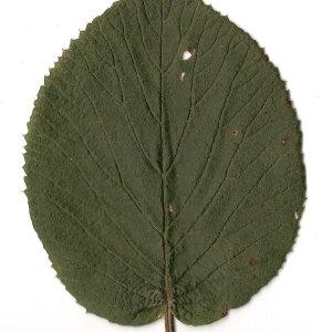 Photographie n°31470 du taxon Viburnum lantana L. [1753]
