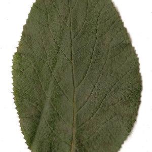 Photographie n°31471 du taxon Viburnum lantana L. [1753]