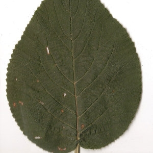 Photographie n°31474 du taxon Viburnum lantana L. [1753]