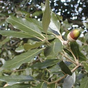 Photographie n°31540 du taxon Quercus ilex L. [1753]
