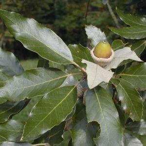 Photographie n°31541 du taxon Quercus ilex L. [1753]