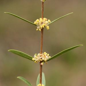 Photographie n°31543 du taxon Phillyrea angustifolia L. [1753]