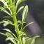 John De Vos - Anarrhinum bellidifolium (L.) Willd.