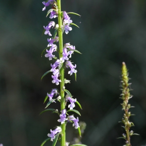 Photographie n°31624 du taxon Anarrhinum bellidifolium (L.) Willd.