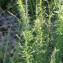 John De Vos - Anarrhinum bellidifolium (L.) Willd. [1800]