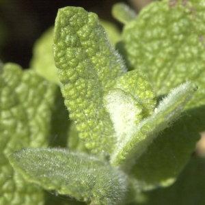 Photographie n°31638 du taxon Mentha rotundifolia sensu auct. gall.