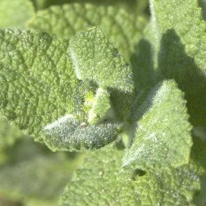 Photographie n°31639 du taxon Mentha rotundifolia sensu auct. gall.