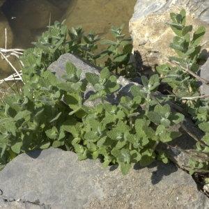 Photographie n°31641 du taxon Mentha rotundifolia sensu auct. gall.
