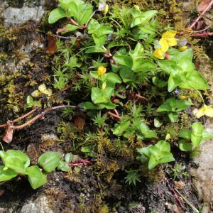 Photographie n°31663 du taxon Lysimachia nemorum L.