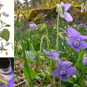 Photographie n°31678 du taxon Viola riviniana Rchb.