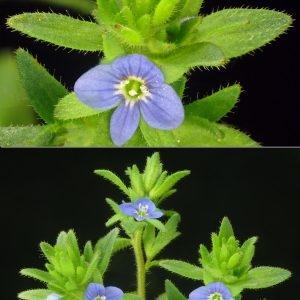 Photographie n°31680 du taxon Veronica arvensis L.