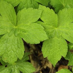 Photographie n°31697 du taxon Geranium nodosum L.