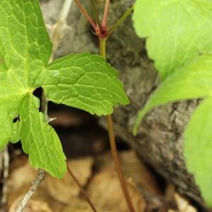 Photographie n°31698 du taxon Geranium nodosum L.