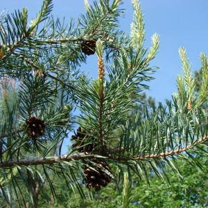 Photographie n°31708 du taxon Pinus sylvestris L. [1753]