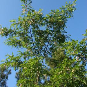 Photographie n°31709 du taxon Robinia pseudoacacia L.