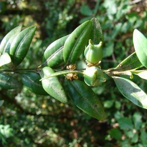 Photographie n°31712 du taxon Buxus sempervirens L.