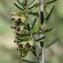 Paul Fabre - Erica scoparia L. [1753]