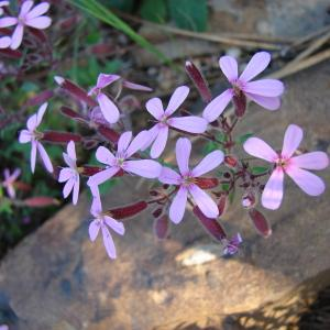 - Saponaria ocymoides L.