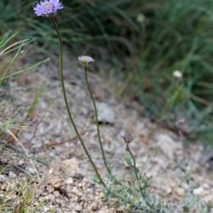 Photographie n°31741 du taxon Jasione montana L. [1753]