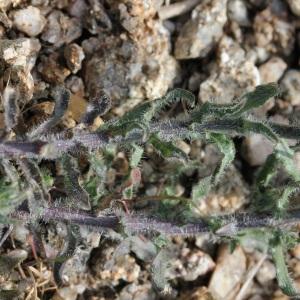 Photographie n°31742 du taxon Jasione montana L. [1753]