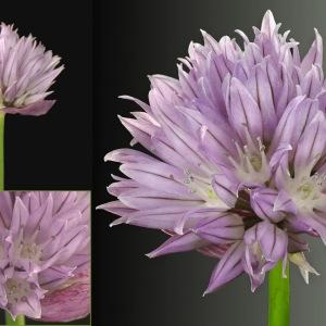 Photographie n°31748 du taxon Allium schoenoprasum L.