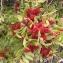 Annick Larbouillat - Pistacia lentiscus L. [1753]