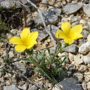 Photographie n°31773 du taxon Linum campanulatum L. [1753]