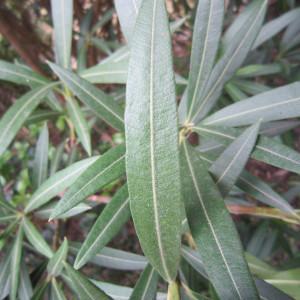 Photographie n°31787 du taxon Nerium oleander L. [1753]