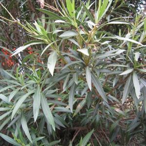 Photographie n°31791 du taxon Nerium oleander L. [1753]