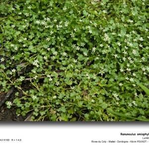 Photographie n°31814 du taxon Ranunculus omiophyllus Ten. [1830]