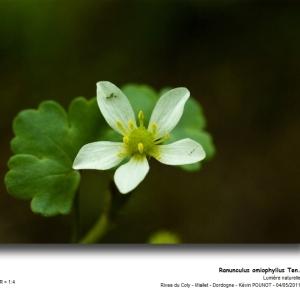Photographie n°31815 du taxon Ranunculus omiophyllus Ten. [1830]