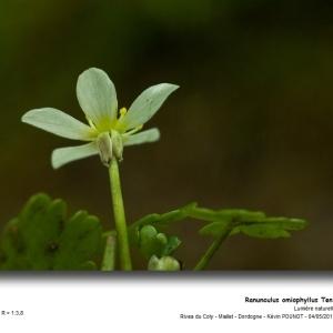 Ranunculus omiophyllus Ten. [1830] (Renoncule de Lenormand)